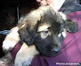 sarplaninac Dragan 2 months