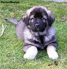 sarplaninac Dragan 9 weeks