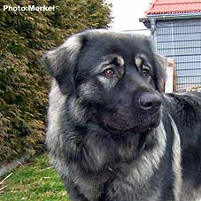 sarplaninac Dragan 14,5 months