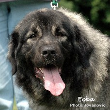 sarplaninac Ecka 2 years
