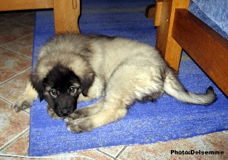 sarplaninac Gorstak 10 weeks