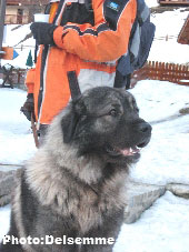 Sarplaninac Gorstak 2,5 years