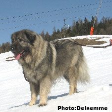 Sarplaninac Gorstak 4,5 years